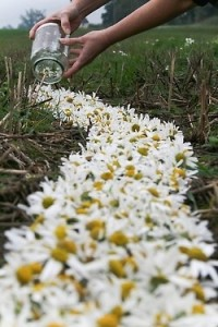 Daisy's are the perfect Boho flower......creating a pathway of Daisy's oozes romance